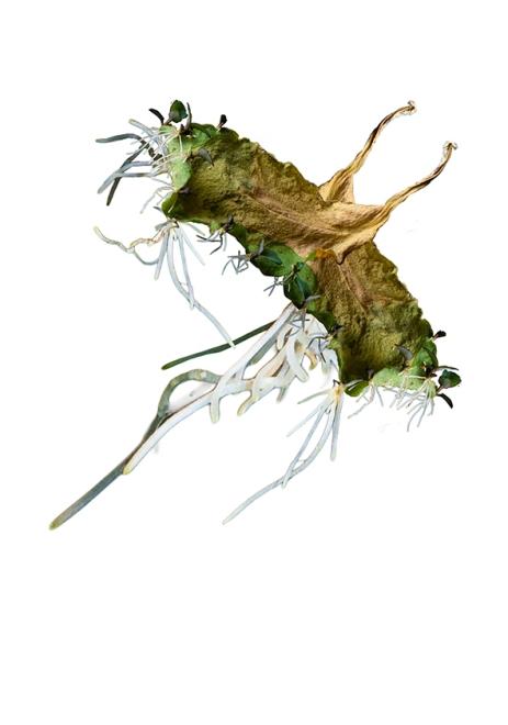 """Regina Nascimento . """"Brio Raiz"""", 2013 . série: Bryophyllum . impressão jato de tinta sobre papel . 42 x 59,7 cm"""